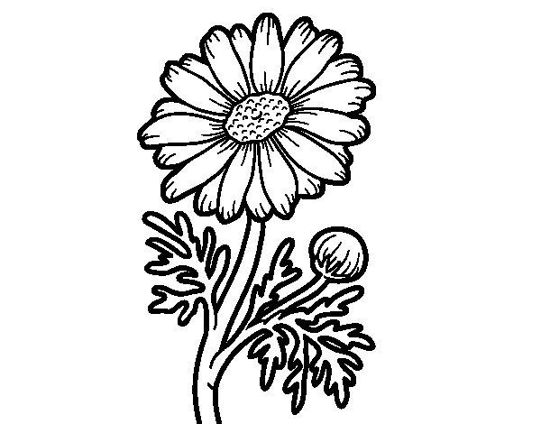 Coloriage de Marguerite sauvage pour Colorier