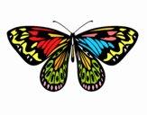 Papillon alexandra